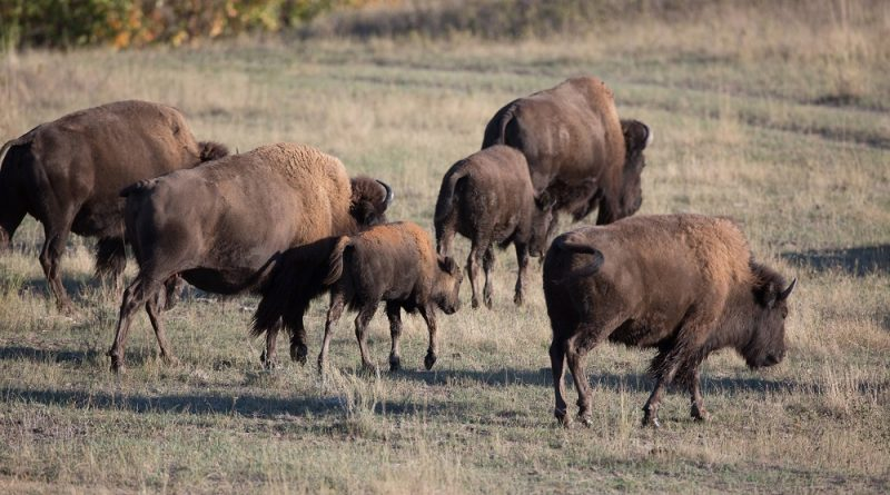 an-alaska-volcano-and-dna-reveal-the-timing-of-bisons-arrival-in-north-america