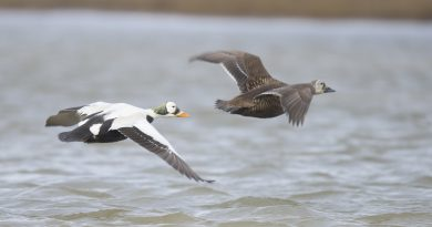 A new project to count eider population poisoned by shot in Alaska
