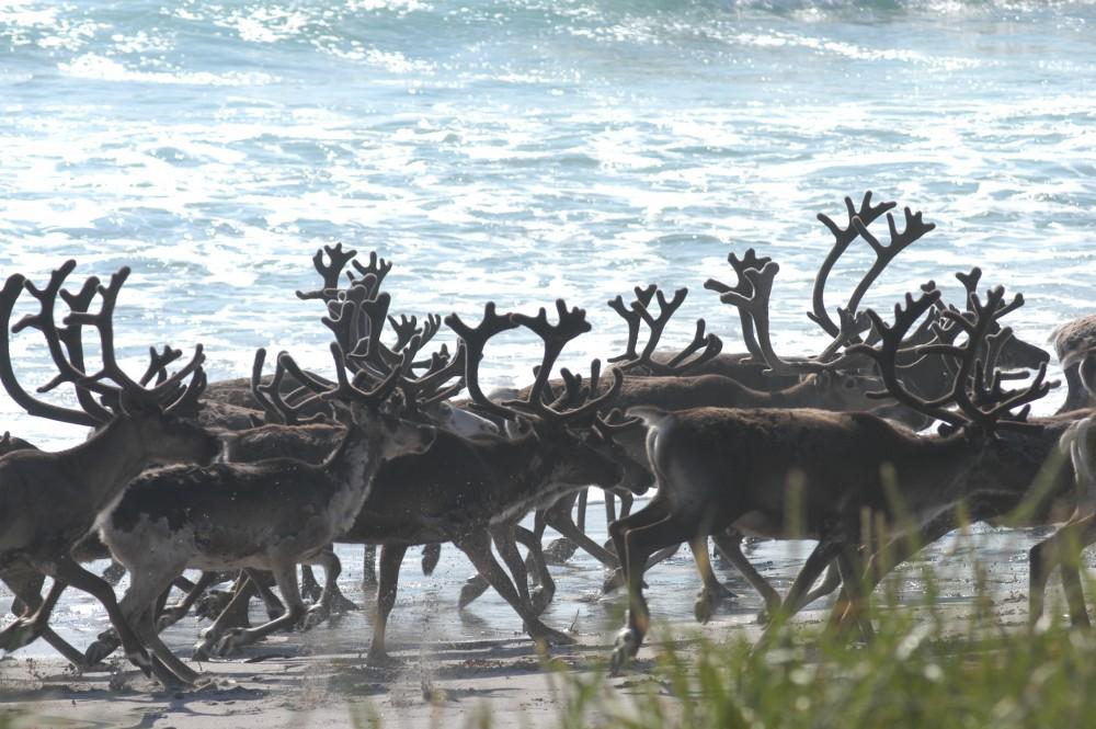 norwegian-slow-tv-follows-reindeer-herd-to-the-coast