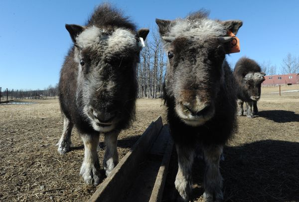 you-might-make-a-profit-farming-musk-oxen-in-alaska-if-you-can-find-any-for-sale-2