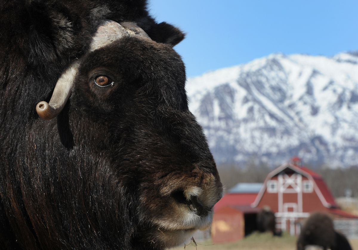 you might make a profit farming musk oxen in alaska if you can thinking about farming musk oxen in alaska for their qiviut but not sure you could actually make any money