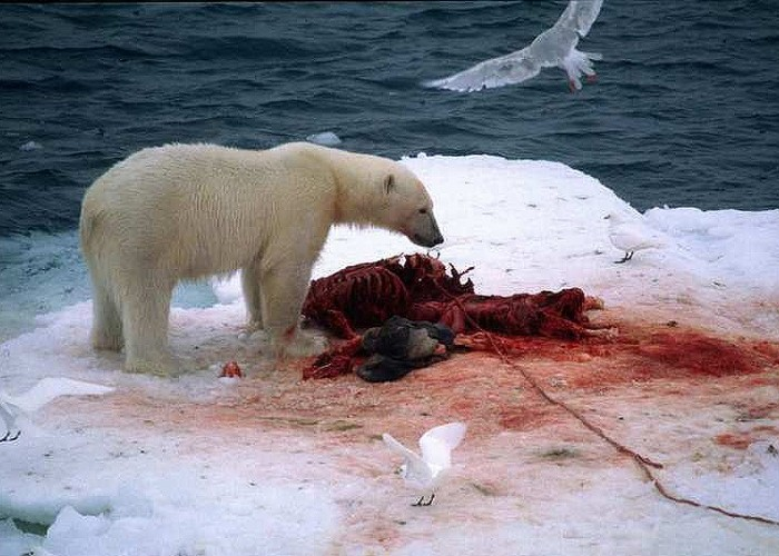 less-seal-on-the-menu-for-hungry-polar-bears-svalbard-norway