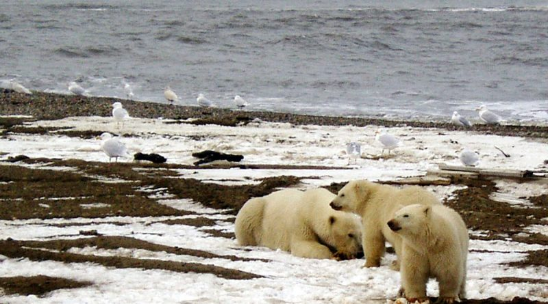 polar-bears-switch-to-land-foods-showing-up-in-lowered-mercury-levels