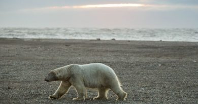 as-sea-ice-gets-scarcer-polar-bear-attacks-on-people-become-more-frequent