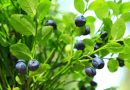 Worst berry season in years expected in northern Sweden