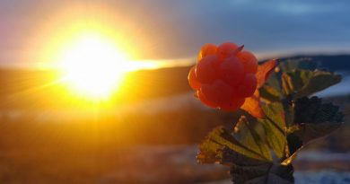 all-you-didnt-know-about-cloudberry-the-healthy-gold-of-the-arctic