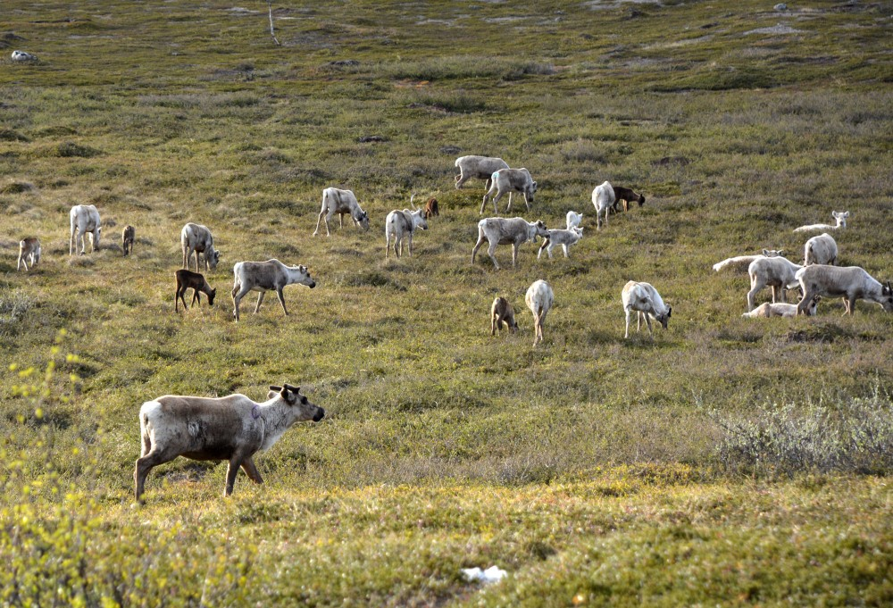 more-than-800000-reindeer-vaccinated-against-anthrax