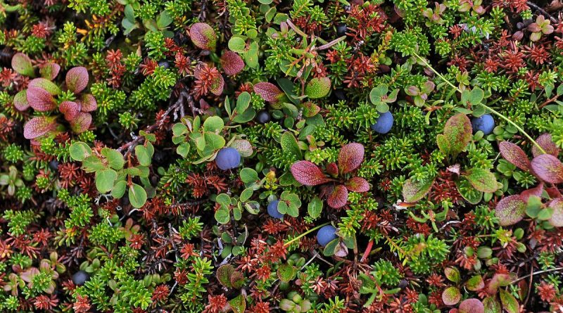 researchers-hope-to-enlist-citizen-to-monitor-alaska-berries