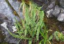 Only endangered plant in Alaska to undergo status review
