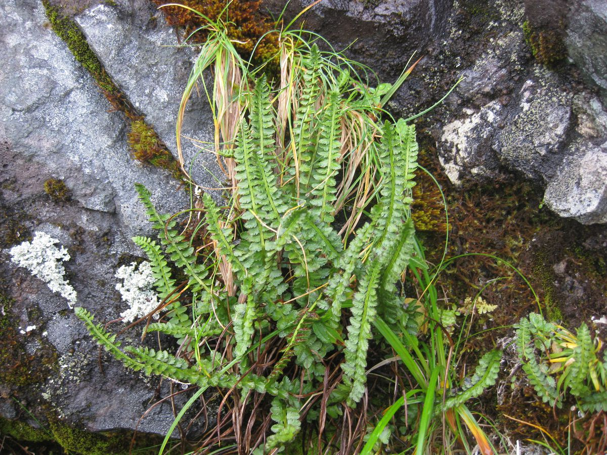 status-of-only-endangered-alaska-plant-to-be-reviewed
