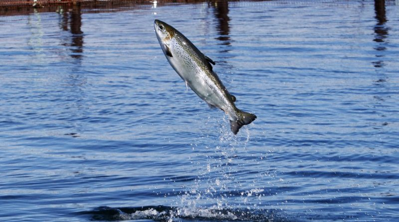 thousands-of-salmon-escape-from-fish-farm-near-alaska-waters