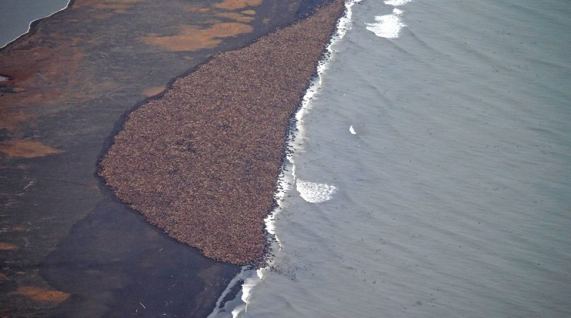 walrus-haulout-in-northwest-alaska-forms-at-earliest-date-ever-recorded