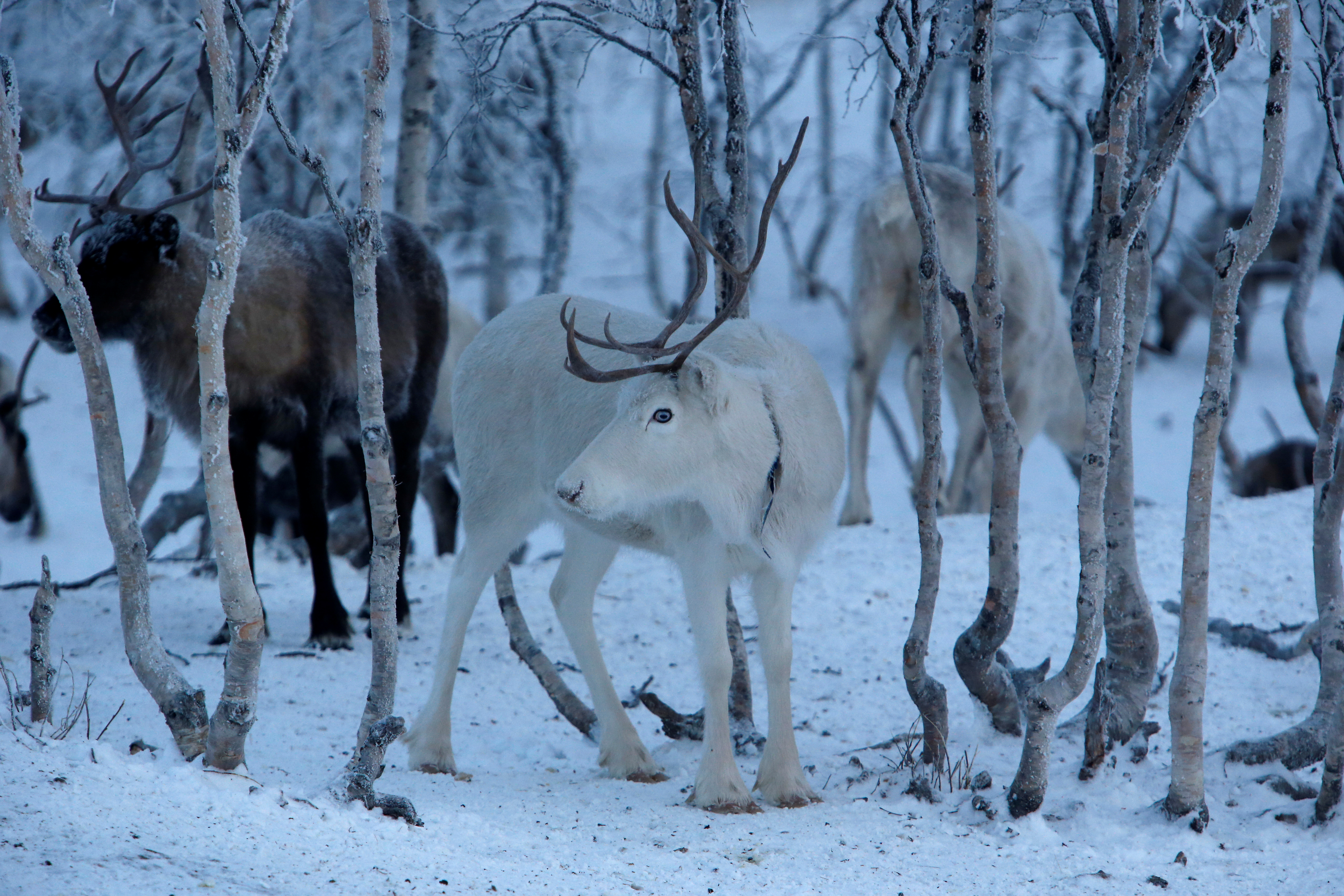 Minister Dale argues that while Norwegian Sami have to reduce their number  of reindeer, due to overgrazing, it is unfair that Swedes can send in as  many ...