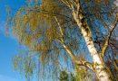 Finland hit by worst birch pollen season in years