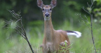 Growing deer population leading to more accidents, property damage in Finland
