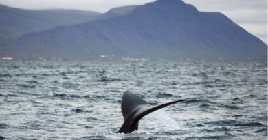 Scientists puzzled by right whale's appearance off Iceland