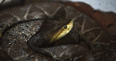 Higher temperatures lead to more viper bites in Sweden