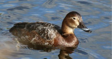 Finland: hunting restricted for three duck species, but jackdaws now fair game