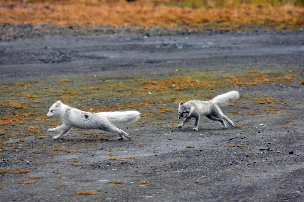 Arctic foxes. (Thomas Nilsen/The Independent Barents Observer)