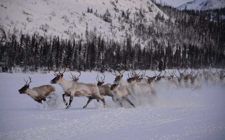 George River Caribou Spotted Outside Nain Late Last Year The Herd Has Dwindling Numbers Down 99 Per Cent Since 2001 Submitted By Brandon Pardy