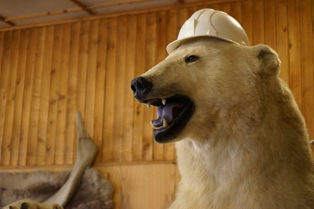 The polar bear in the library wears helmet. (Thomas Nilsen/The Independent Barents Observer)