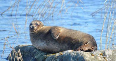 Finland's endangered Saimaa seal population climbing back
