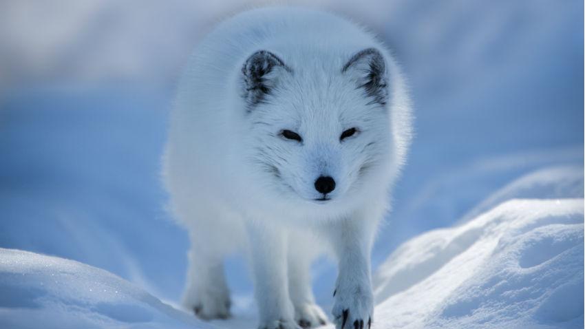 Climate Change Threatens Arctic Fox U2019s Future In Nordic