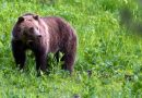 Thousands of bear tags are sold each year in northwest Canada, so why are so few hunted?