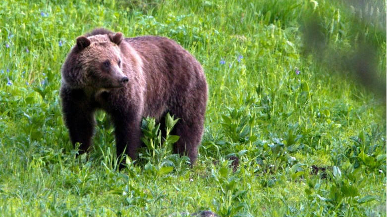 'Stay vigilant and stay aware': grizzly bear attack serves as precautionary tale to Yukoners in northwest Canada