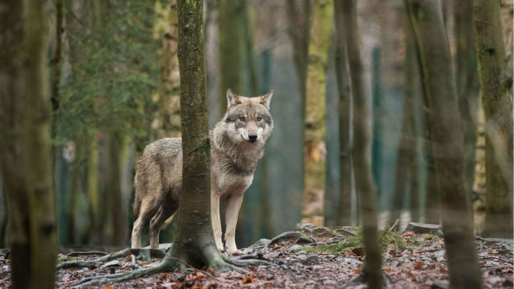 Illegal killing is affecting the number of wolves in Sweden. This picture shows a wolf in a zoo, in northern Germany. (Klaus-Dietmar Gabbert/AFP/Getty Images)