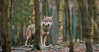 Sweden's wolf numbers slide, illegal hunting blamed
