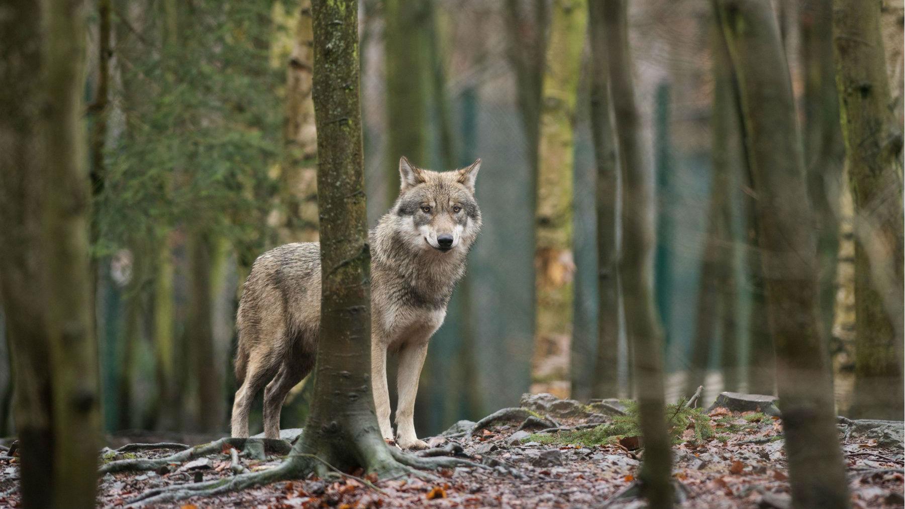 Sweden's wolf numbers slide, illegal hunting blamed