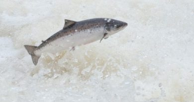 Greenland Atlantic salmon catch numbers well above new quota