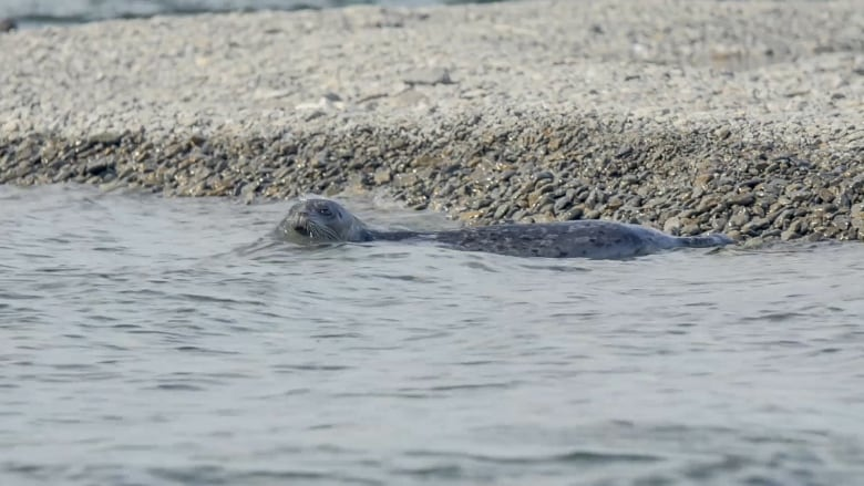 Unique freshwater Alaska seals require special conservation efforts, study finds