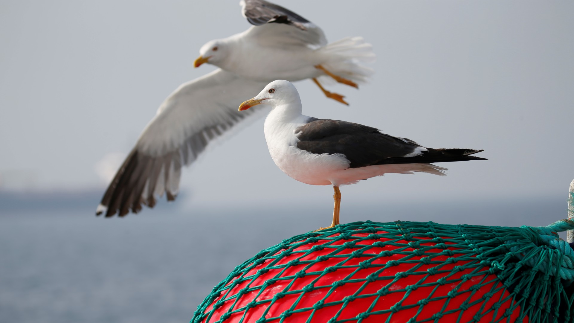 Species of gull facing extinction in Finland – Eye on the Arctic