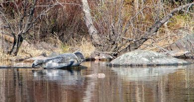 Finland's endangered Saimaa ringed seal population reaches 400