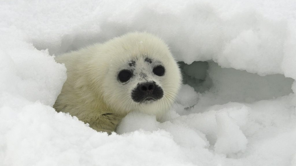 Arctic Canada: label ringed seals a species of concern, wildlife advisers tell feds