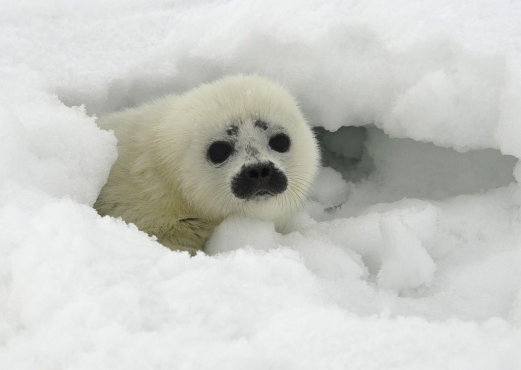 Arctic sea ice loss linked to spread of deadly virus in marine mammals