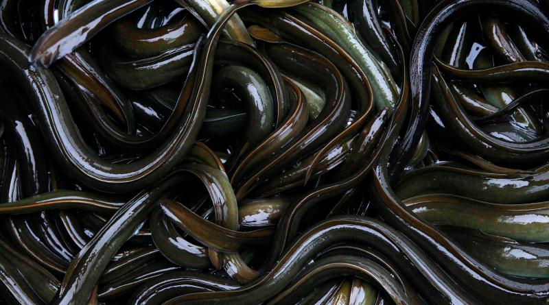 Swedish fishmongers and sushi shops still selling critically endangered eel, WWF says