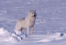 More wolves killed since new government incentives in northwest Canada