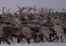 Unusual amounts of snow and ice threaten reindeer in Arctic Norway