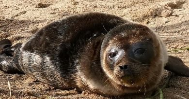 Finnish conservationists worry about Saimaa ringed seal as fishing net ban ends