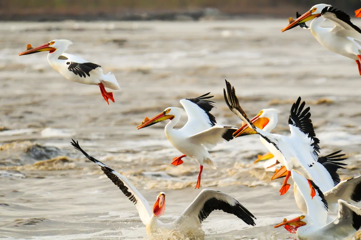 'They get around': Pelicans spotted as far north as Nunavut, in Canadian Arctic