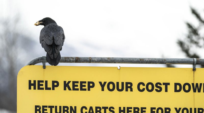 Costco customers in Alaska victimized by ravens
