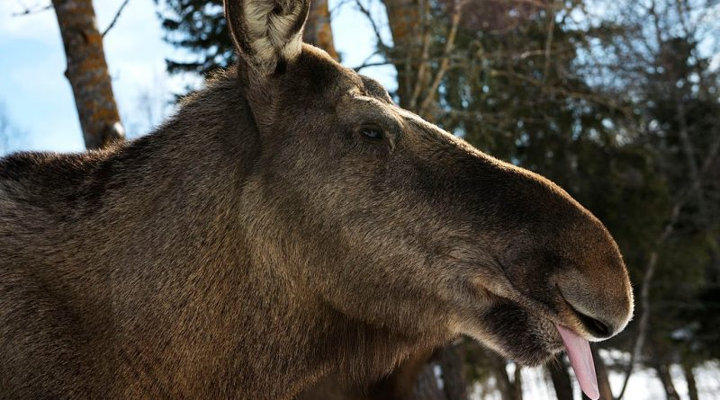 """Moose on the move — the latest subject for """"slow TV"""" in Sweden"""