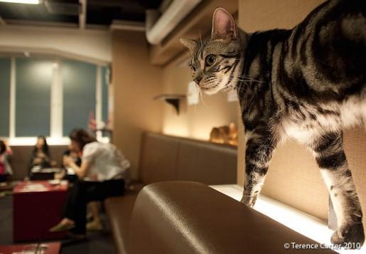 Il y a plus d'une trentaine de cafés à chat au Japon seulement.  Les animaux domestiques sont souvent interdits par les propriétaires de logements locatifs, ce qui explique en partie leur popularité.