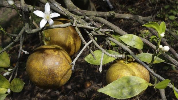 citrus-greening-emergency