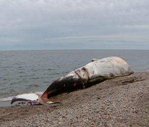 whale-death