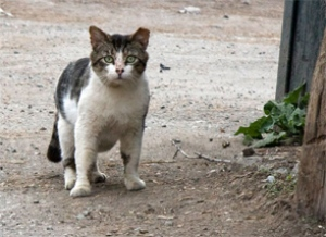 an-example-of-an-ear-tipped-free-roaming-cat