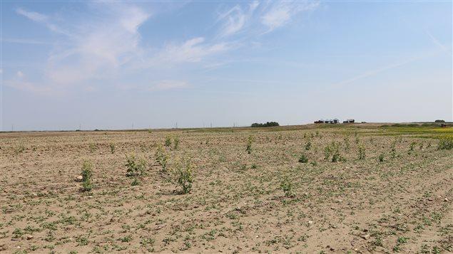 Des plants de moutarde victimes de la sécheresse Photo : Agriculture Financial Services Corporation